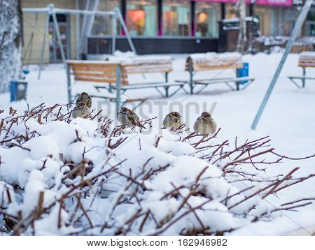 Sparrows sitting on a branch in winter in the daytime