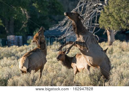 Female Elk fight during the rut in Yellowstone National Park Wyoming
