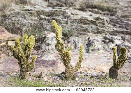 dry landscape with Opuntia Cactus in nature