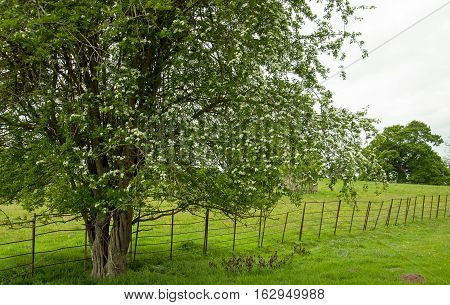 Summertime trees and an old craggy fence in the British countryside.
