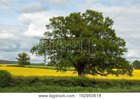 Old Oak tree in the springtime fields of England.