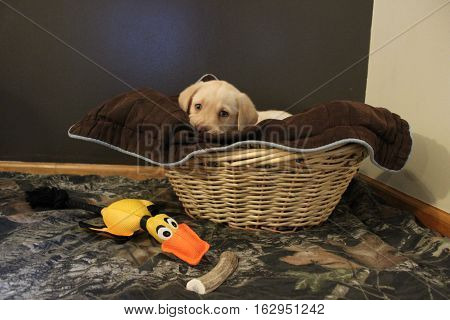 peek a boo lab puppy in a basket