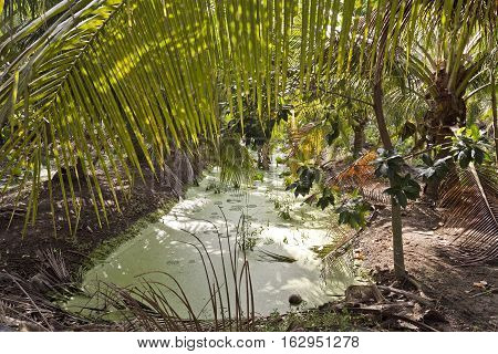 Green algae floats on the surface of an irrigation canal in a coconut cultivation area near Bangkok Thailand
