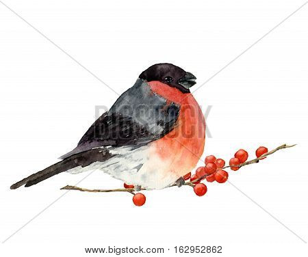 Watercolor bullfinch on a branch with red berries. Hand painted bird with winter berries on white background. Christmas symbol. Winter birdie with red breast feathers.