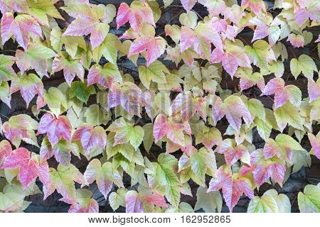 Red tinged leaves of an vine creeper covering a wall in a full frame nature and horticulture background texture