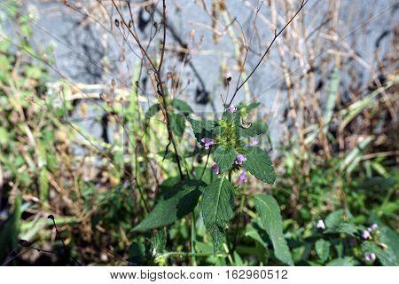 Common hemp nettle (Galeopsis tetrahit), also called brittlestem hempnettle, blooms in Harbor Springs, Michigan during August.