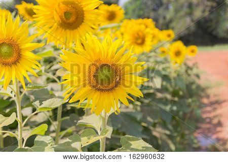 Sunflowers have abundant health benefits. Sunflower oil improves skin health and promote cell regeneration.