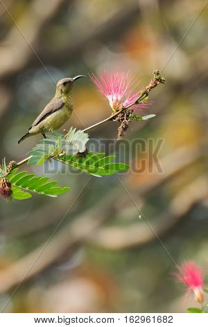 Beautiful Purple sunbird (Cinnyris asiaticus) a small sunbird sucking nectar from flower. Stock image shot at Kolkata Calcutta West Bengal India