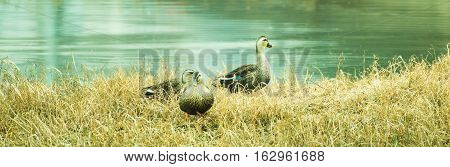 Three adult ducks on a grassy knoll next to a river
