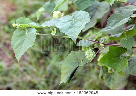 Close up of Country mallow (Abutilon indicum). Herb with medicinal properties to cure diseases diabetes mellitus plant alternative medicine.