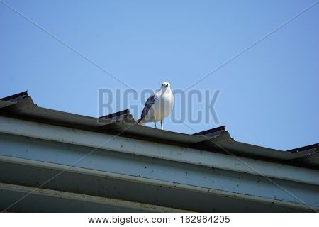 A ring-billed gull (Larus delawarensis) stands on the roof of the Walstrom Marine boathouse, near the Zorn Park Public Beach, in Harbor Springs, Michigan during August.