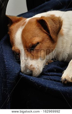 A Jack Russell sleeping on a blue blanket