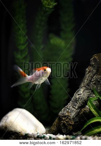 A comet single-tailed goldfish in the tank.