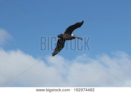 Brown Pelican soaring over Port Aransas, Texas.