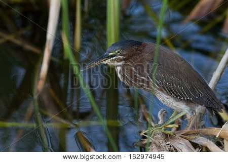 A young green heron at South Padre Island.