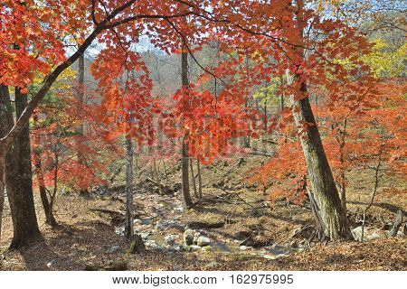 The autumn maples in Far-Eastern taiga. Russian Far-East.