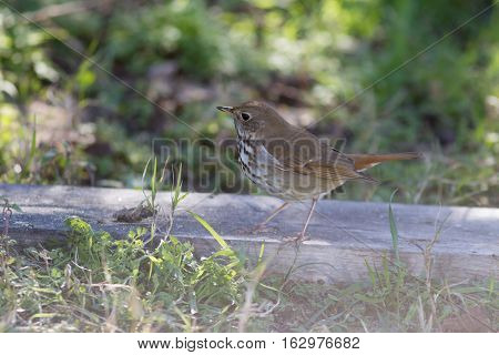 Hermit Thrush on ground looking for a free and quick meal.