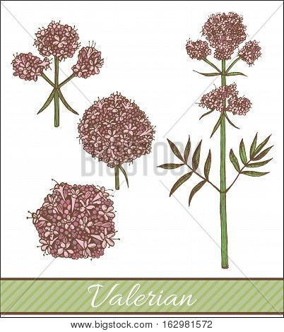 vector hand drawn isolated colored valerian illustration