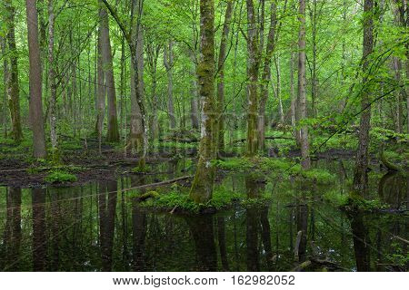 Springtime wetdeciduous stand of Bialowieza Forest with standing water, Poland, Europe