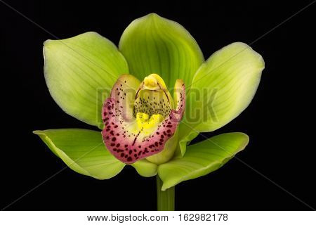 Close-up of green cymbidium boat orchid flower. Zen in the art of flowers. Macro photography of nature.