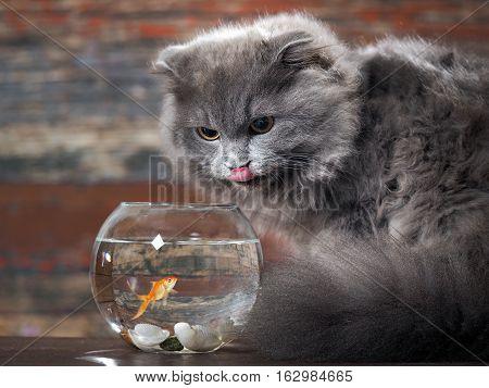 The cat licks lips near round aquarium with gold fish