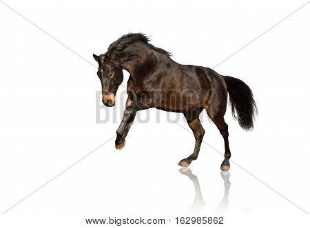 Isolate of bay horse running on white background