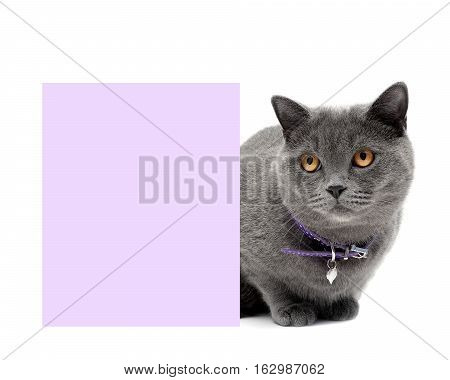 gray cat in a beautiful collar around a banner on a white background. horizontal photo.