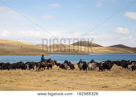 Lake Tulpar, Kyrgyzstan - October 07, 2014: Photograph of yak shepherds on horses in Southern Kyrgyzstan