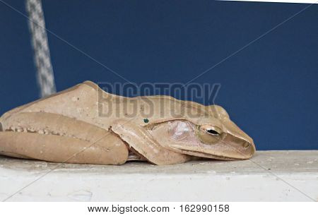 Sleeping brown flog and blue background. Sleeping flog