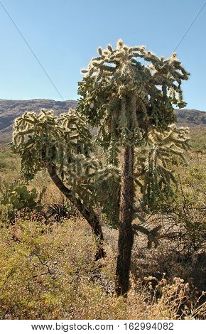 Chain fruit Cholla, Saguaro National Park, Arizona