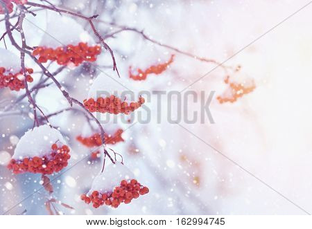 Bright red berries of mountain ash covered with snow. Toning in vintage style.