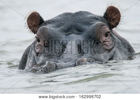 face hippo in the water of Lake Naivasha Kenya