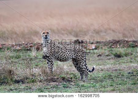 Cheetah standing in the savannah and looking out for prey kenya