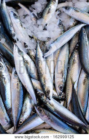 Fresh Sea Fish Hooked. Smelt