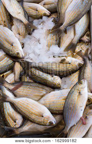 Fresh Sea Fish Hooked, Mullet