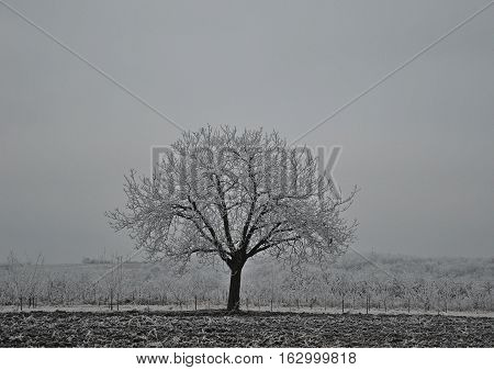 Single walnut tree covered by the snow