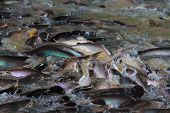 the pangasius in the river many fish competing for foodPangasius fish eating and snatching.Sawai fish - selective focus poster