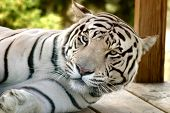 white tiger waking from nap. ** Note: Slight blurriness, best at smaller sizes poster