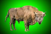 The European bison on a green background poster