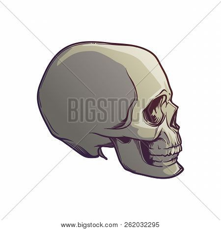 Human Skull Hand Drawing. Side Angle. Linear Drawing Painted In 3 Shades, Isolated On White Backgrou