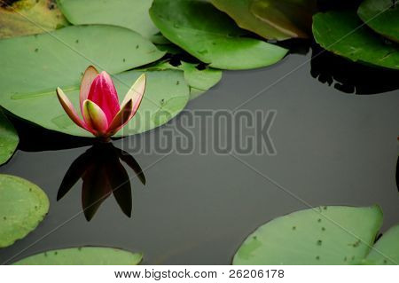 Single lotus with copy space
