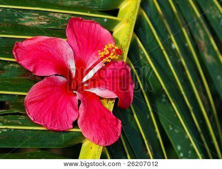 Hibuscus on coconut leaf
