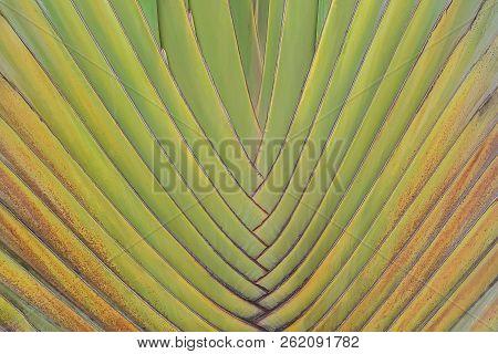 Texture Of Traveller's Tree Trunk Ravenala Madagascariensis Sonn For Nature Background Design