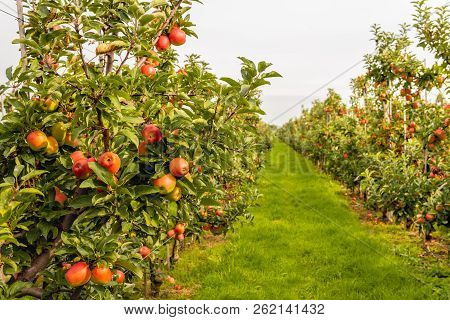 Fruit Trees With Harvest Ripe Red Apples In A Modern Dutch Apple Orchard With Espaliers At The End O