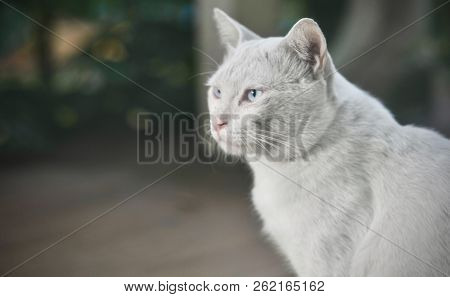 Siamese Cat Is The Thai Domestic Cat, Ugly And Dirty Cat And Smart Pet In House, White Cat Looking U