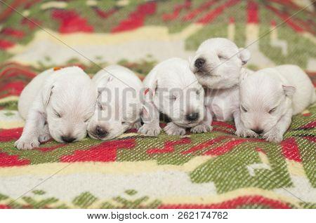 Newborn Puppies Are Blind They Lie Together, Puppies White Schnauzer