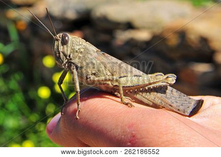Locust In Human Hand With Natural Blurred Background