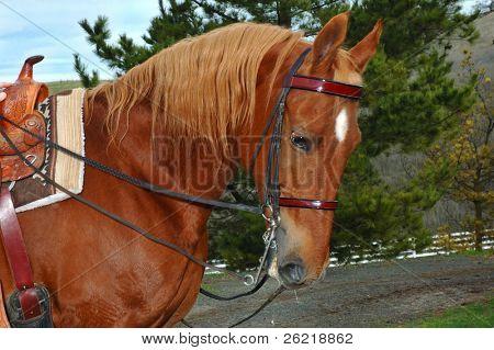 A fine Saddlebred Stallion with English double bridle