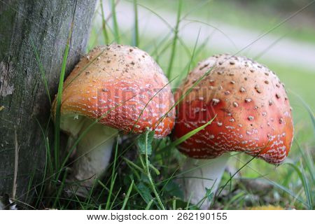 Fly Agaric Or Fly Amanita Mushroom In The Grass In A Forest At The Waalsdorpervlakte Close To The Ha