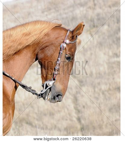 Head of a Saddlebred horse in Western livery
